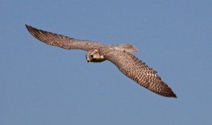 By Tony Hisgett from Birmingham, UK (Falcon 4 Uploaded by Magnus Manske) [CC-BY-2.0 (http://creativecommons.org/licenses/by/2.0)], via Wikimedia Commons